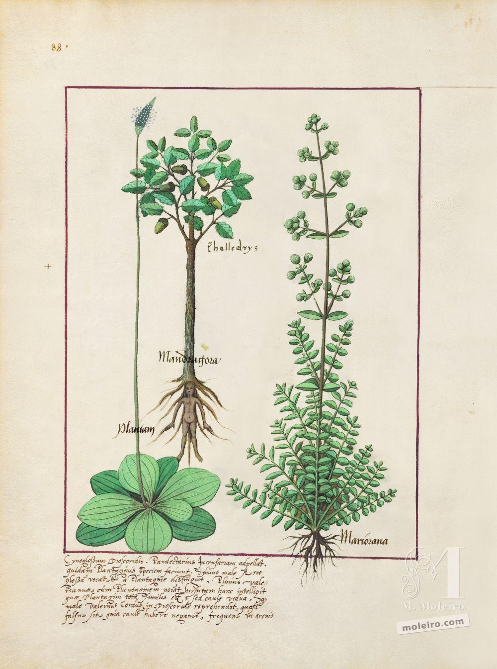 Carpeta 5 folios del Libro de los Medicamentos Simples (s. XV)  Folio 155v, Llantén mayor y mediano,Encina y Mandrágora,Mayorana