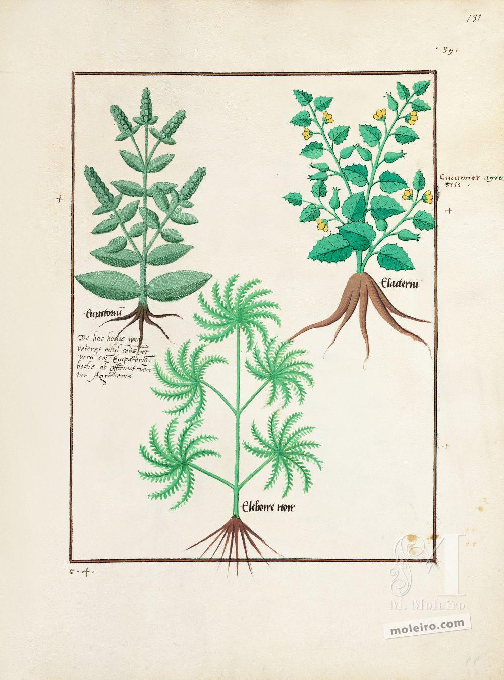 Pasta com 5 fólios do Livro dos Medicamentos Simples (s. XV)   Fólio 131r, Eupatória, Pepino-do-diabo, Rosa de Natal