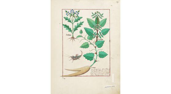 Carpeta con 5 folios del Libro de los Medicamentos Simples (s. XV)  Folio 139r,Verbena,Romaza,Nueza