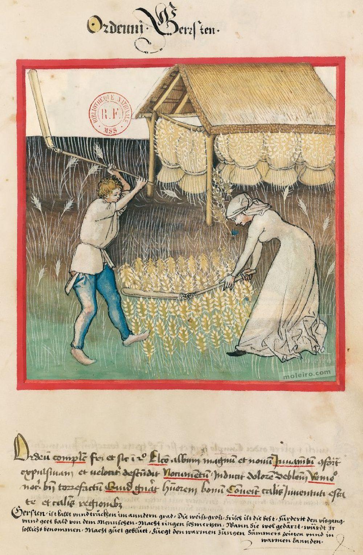 Tacuinum Sanitatis f. 42r, Barley