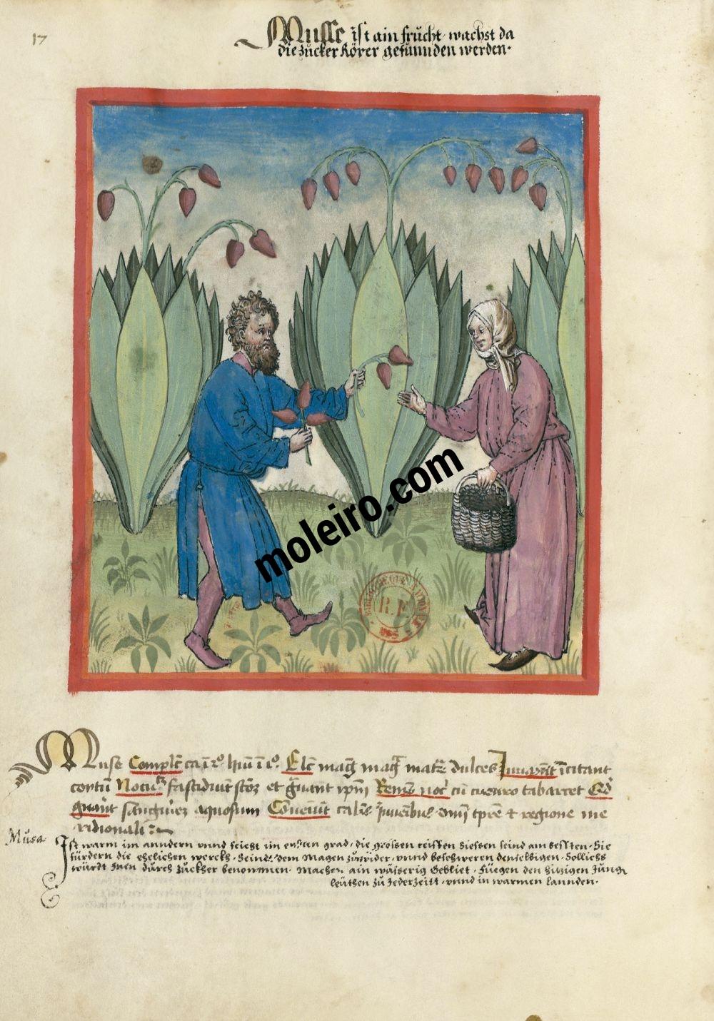 Plátanos en el Tacuinum Sanitatis - Ms. Lat 9333  (XV, Renania) Bibliothèque nationale de France, París tratado medicina edad media