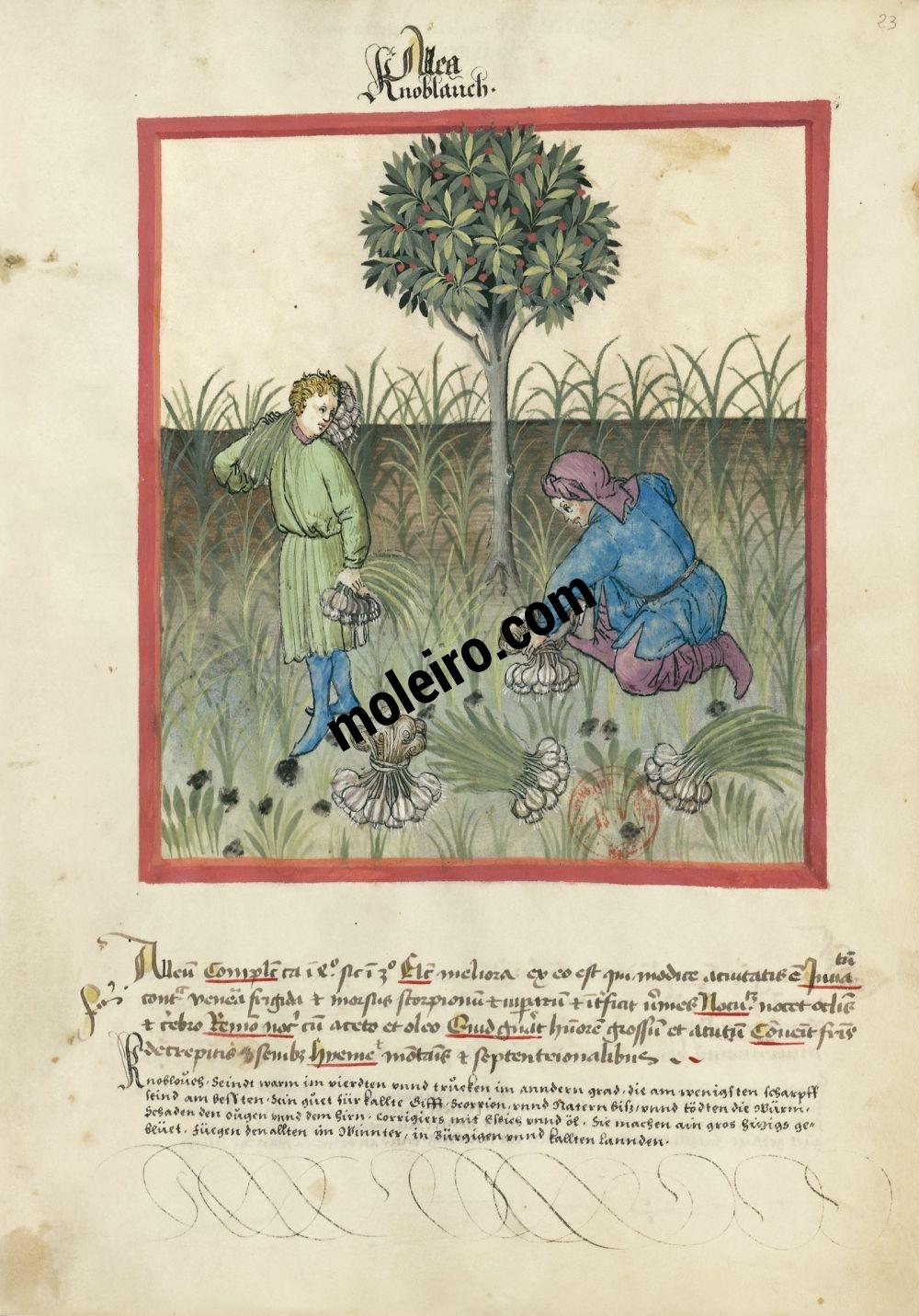 f. 23r, Ajos en el Tacuinum Sanitatis - Ms. Lat 9333  (XV, Renania) Bibliothèque nationale de France, París tratado medicina edad media