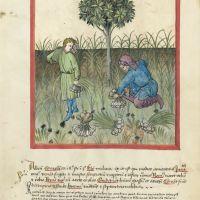 f. 23r, Garlic