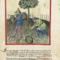 <p>f. 23v, Asparagus</p>