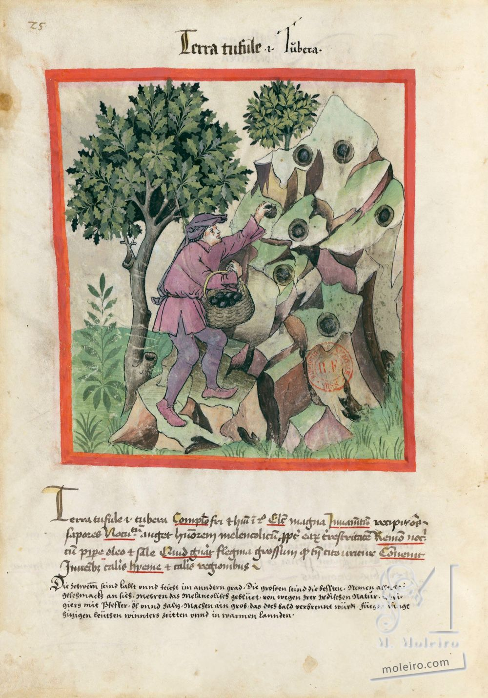 f. 25v, Tartufi. Tacuinum Sanitatis, Ms. Lat. 9333. Bibliothèque nationale de France, Parigi