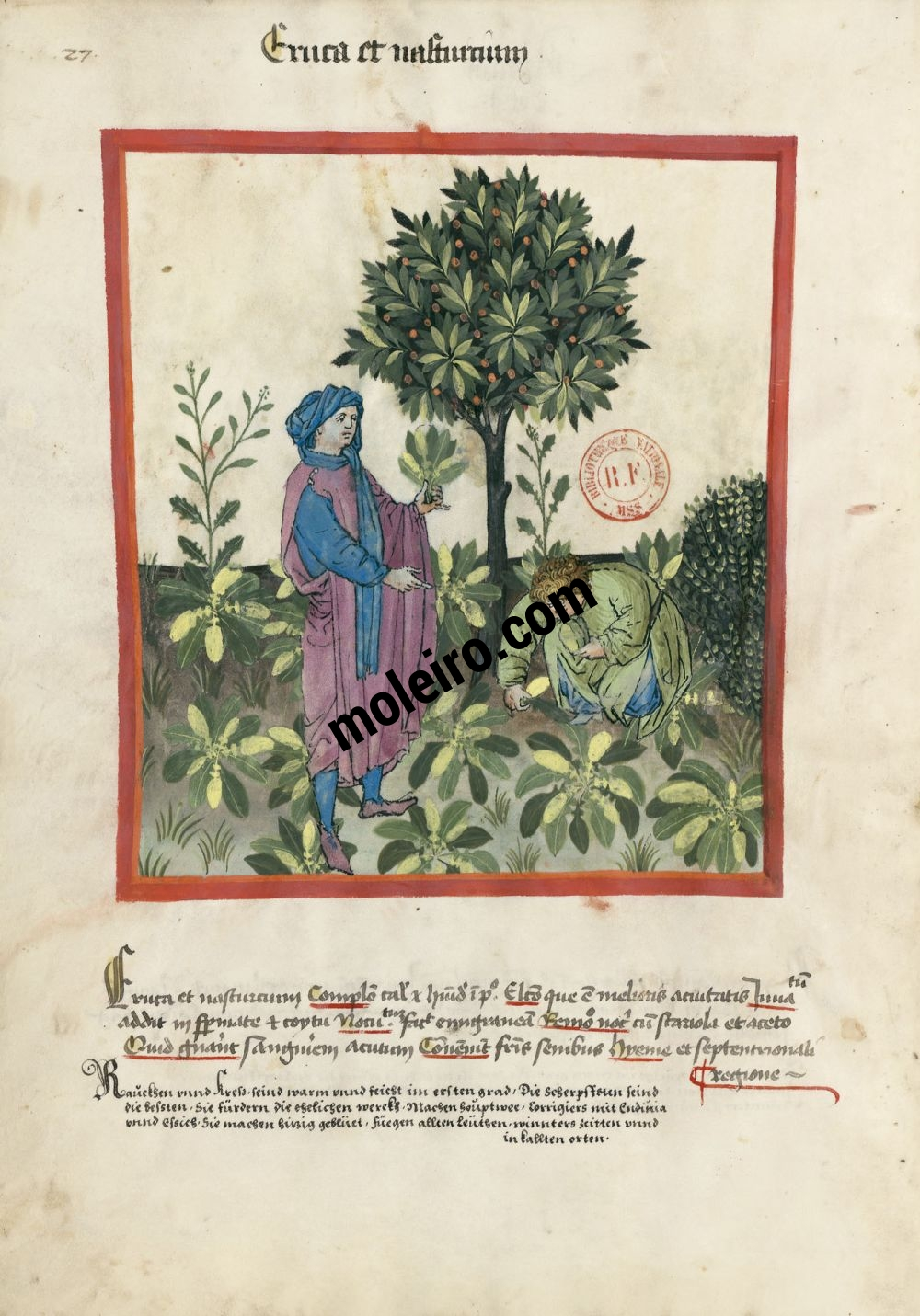 Tacuinum Sanitatis f. 27v, Rocket and watercress