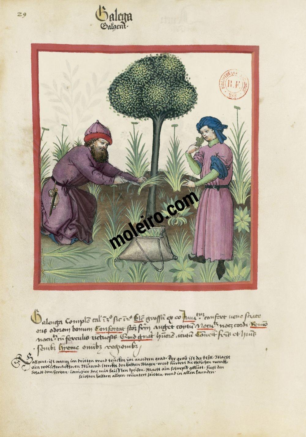 Tacuinum Sanitatis f. 29v, Aromatischer Kalmus