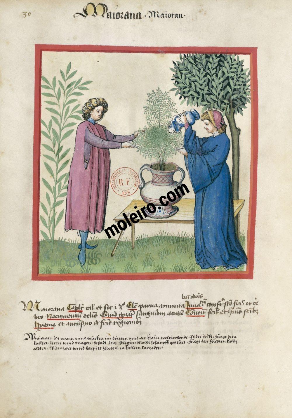 f. 30v, Mejorana en el Tacuinum Sanitatis - Ms. Lat 9333  (XV, Renania) Bibliothèque nationale de France, París tratado medicina edad media