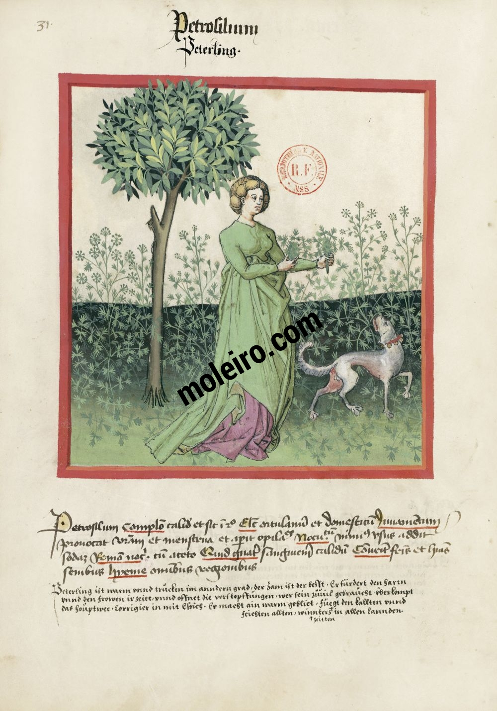 f. 31v, Prezzemolo. Tacuinum Sanitatis, Ms. Lat. 9333. Bibliothèque nationale de France, Parigi