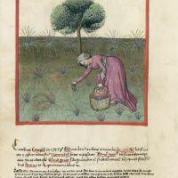 <p>f. 37v, Saffron</p>