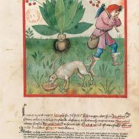f. 37r, Mandrake fruit