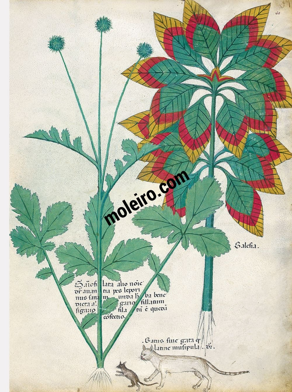 Tractatus de Herbis -Sloane 4016 f. 40r:Joseph's coat; wood avens; cat