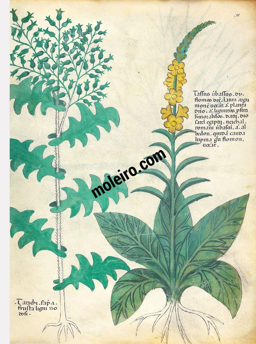 Tractatus de Herbis -Sloane 4016 f. 98r:Common mullein; common groundsel