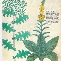 f. 98r: Common mullein; common groundsel