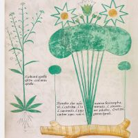 f. 64v: Field pepperweed; white waterlily