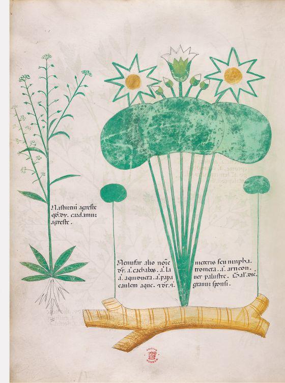 Tractatus de Herbis -Sloane 4016 f. 64v:Field pepperweed; white waterlily