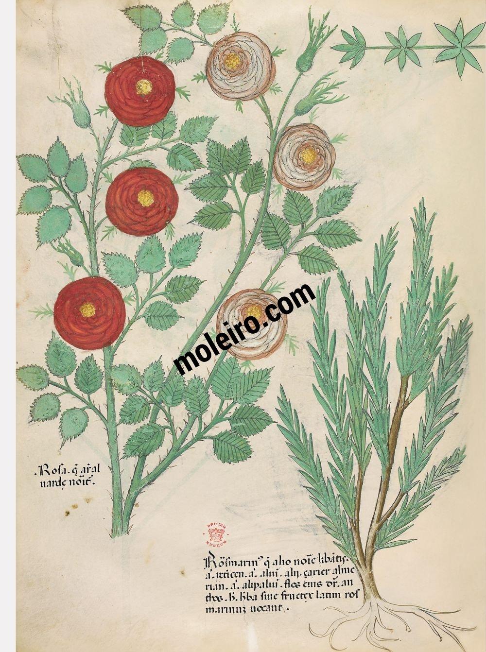 Tratado de plantas medicinales. Tractatus de Herbis -Sloane 4016 f. 82v:Rosa; romero