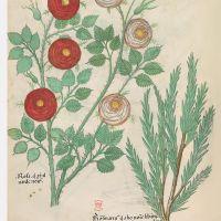 f. 82v:Rose ; romarin