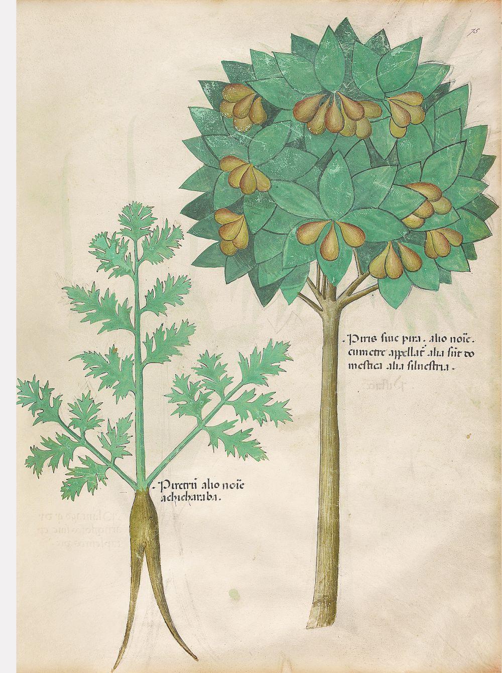 f. 75r, Pera; piretro. Tratado de plantas medicinales. Tractatus de Herbis - Sloane 4016 The British Library, Londres