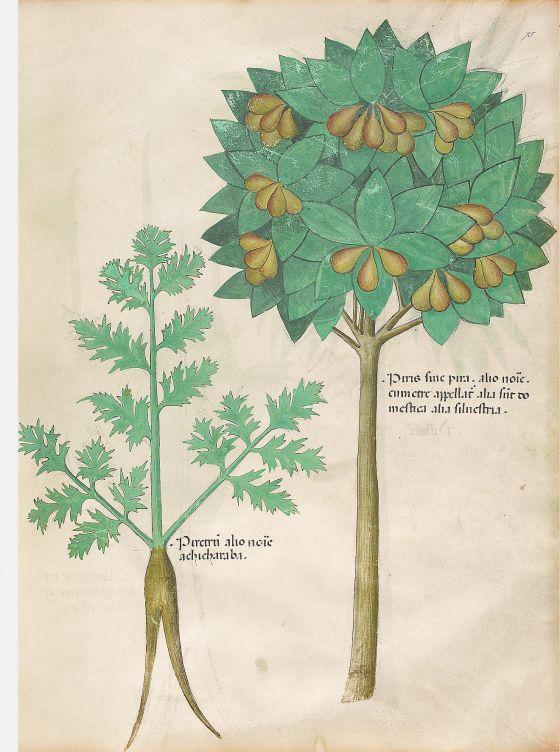 Tractatus de Herbis -Sloane 4016 f. 75r:Pear; pyrethrum