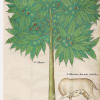 f. 28r:Sweet chestnuts; castoreum
