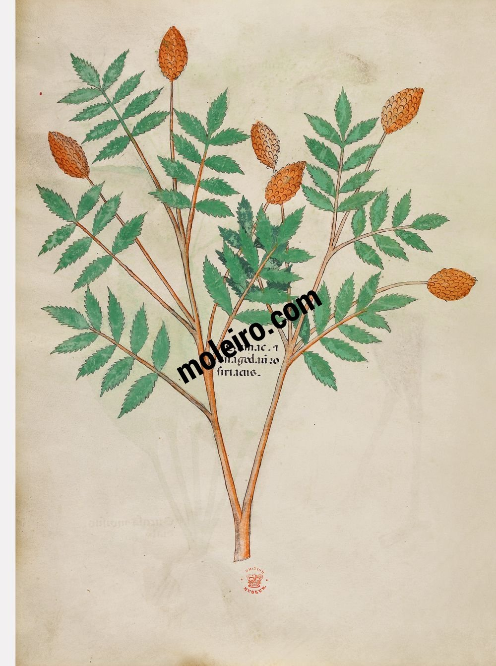 Tractatus de Herbis -Sloane 4016 f. 96v:Sumac and anagodam