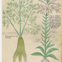 f. 52r:Lily; libanotidis
