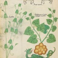 f. 6v: Field Bindweed; ram and sheep; birthwort