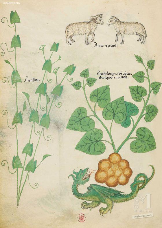 Tractatus de Herbis - Sloane 4016 f. 6v