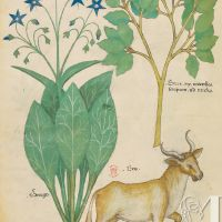 f. 19v: Borax; borage; ox