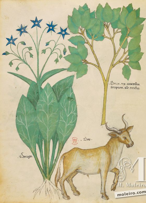 Tractatus de Herbis -Sloane 4016 f. 19v:Borax; borage; ox
