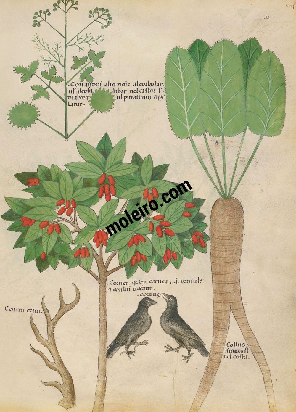f. 34v, Camomilla fetida; finocchio marino. Tratado de plantas medicinales. Tractatus de Herbis - Sloane 4016 The British Library, Londres
