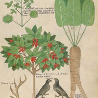 f. 34r: Coriander; Staghorns; Dogwood; Raven; Costus