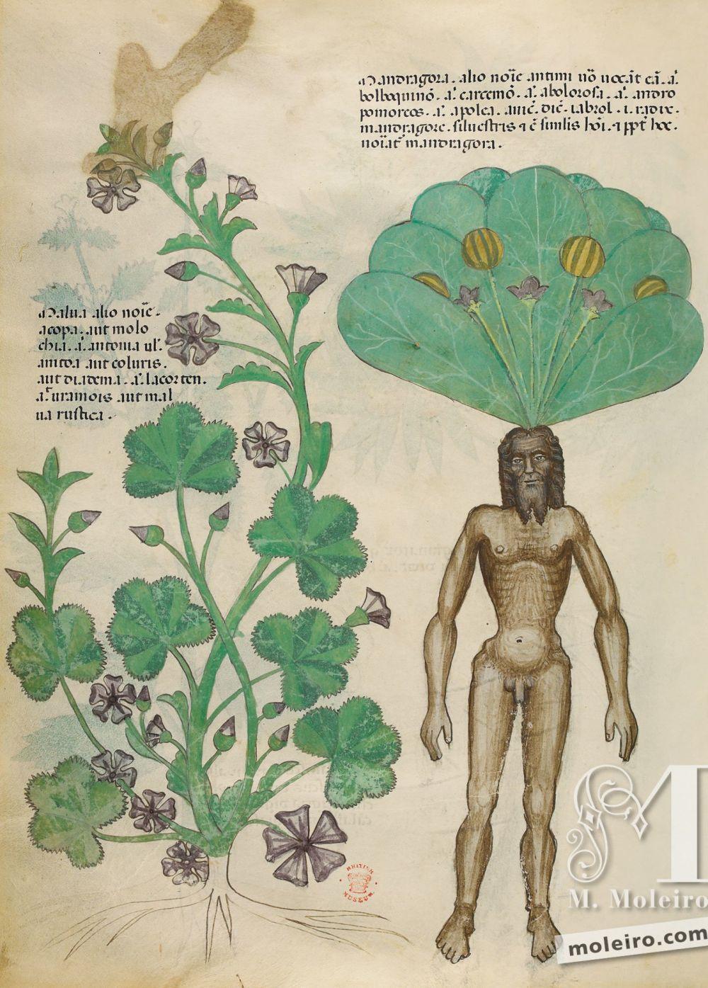 Tratado de plantas medicinales. Tractatus de Herbis -Sloane 4016 f. 56v:Mandrágora; malva silvestre