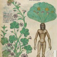 f. 56v:Mandrake; mallow