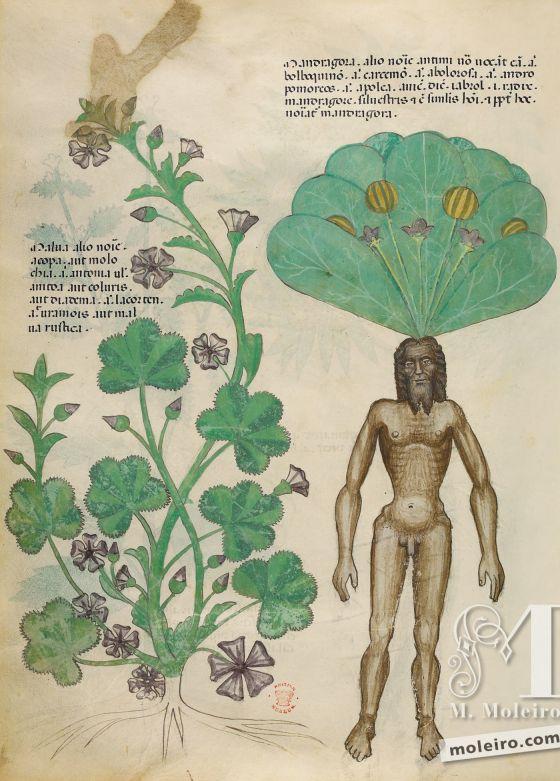 Tractatus de Herbis - Sloane 4016 f. 56v:Mandragore ; grande mauve