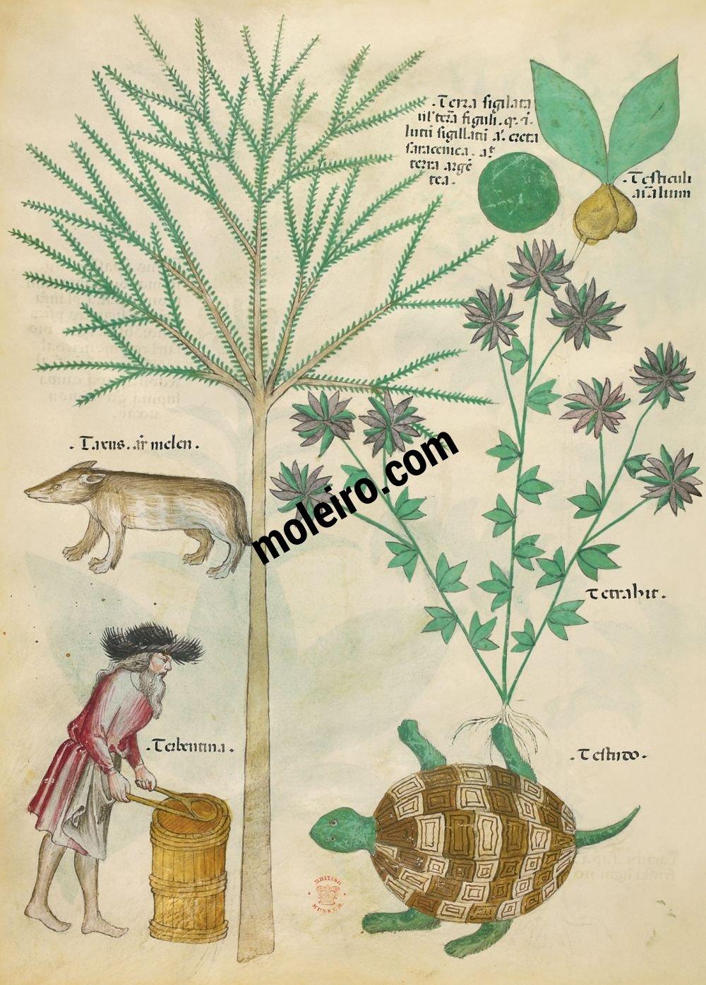 Tratado de plantas medicinales. Tractatus de Herbis -Sloane 4016 f. 98v:Tierra sellada; testículos de animales; tejo; [tejón]; ortiga real; trementina; tortuga