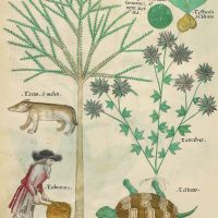 f. 98v: Terra sigilata; animal testicles; yew; [Badger]; hemp-nettle; turpentine; turtle