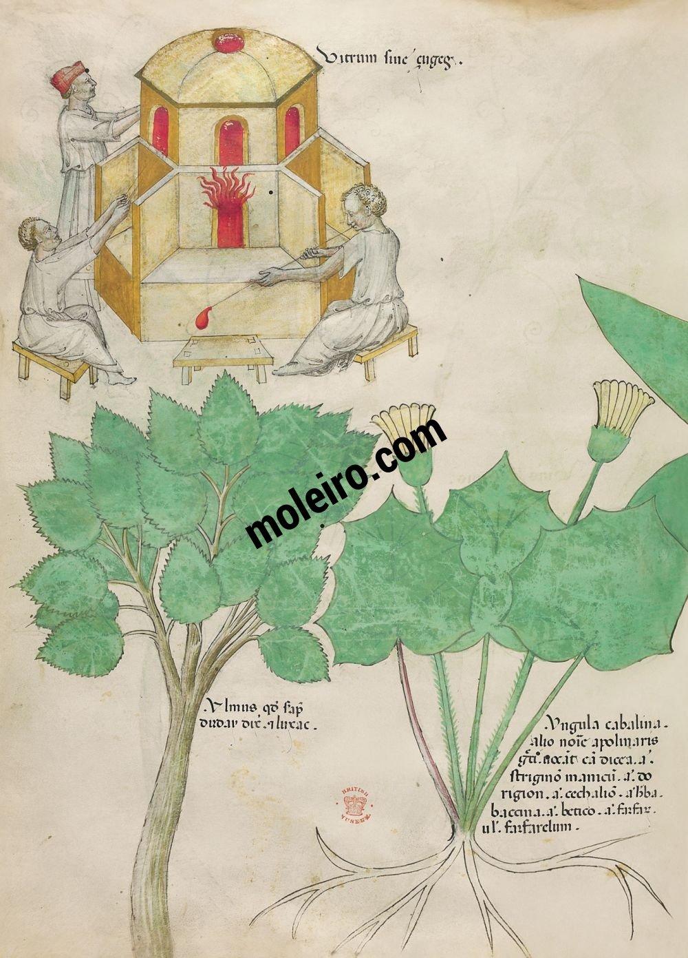 Tratado de plantas medicinales. Tractatus de Herbis -Sloane 4016 f. 101v:Vidrio; olmo; tusilago