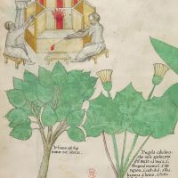 f. 101v: Glass; elm; coltsfoot