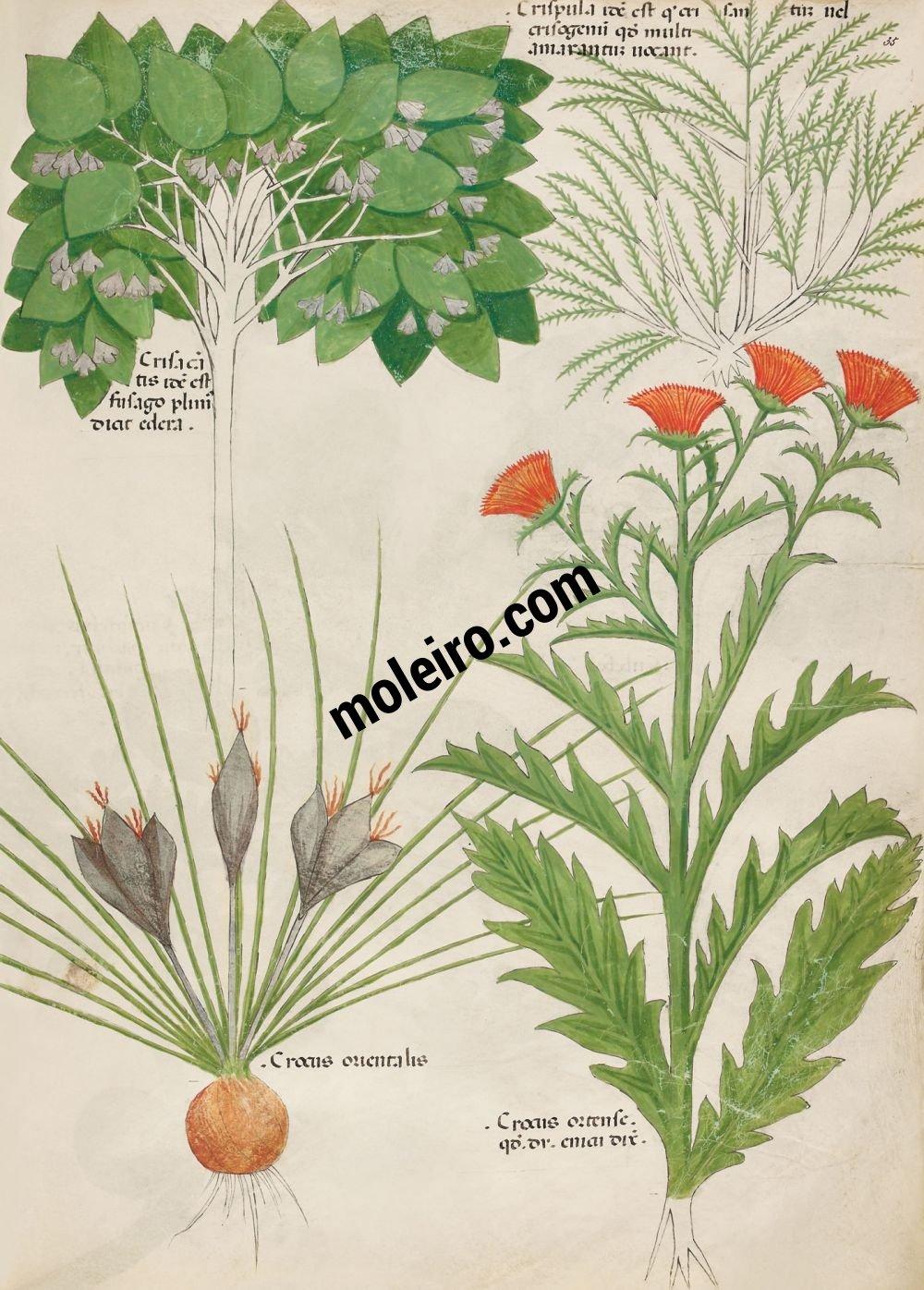 Tractatus de Herbis - Sloane 4016 f. 35r:Lierre des poètes ; marjolaine des jardins ; crocus oriental ; crocus de jardin