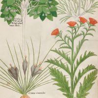 f. 35r:Lierre des poètes ; marjolaine des jardins ; crocus oriental ; crocus de jardin