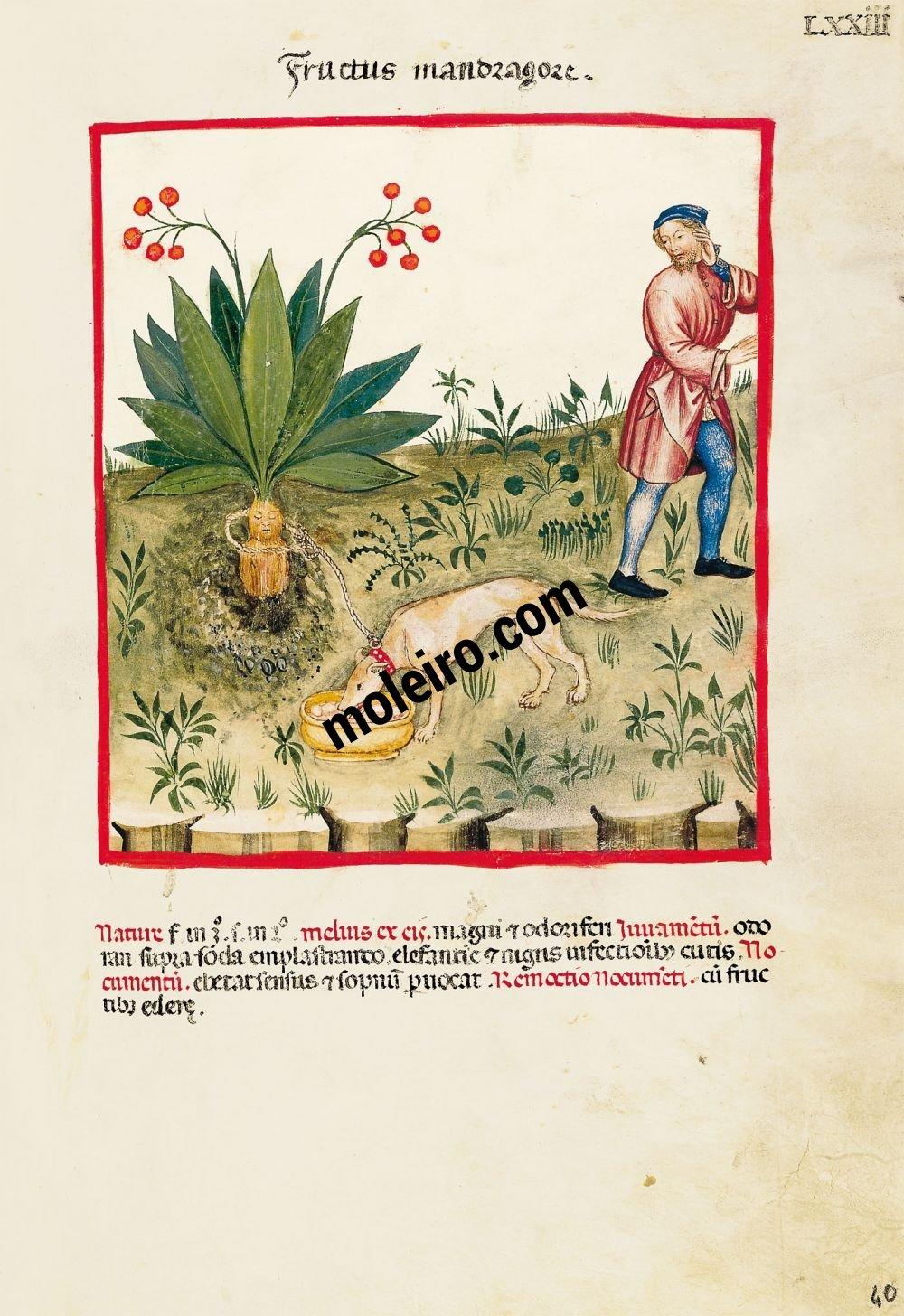 Theatrum Sanitatis f. LXXIII, Frucht der Alraunwurzel