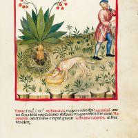 f. LXXIII, Frucht der Alraunwurzel