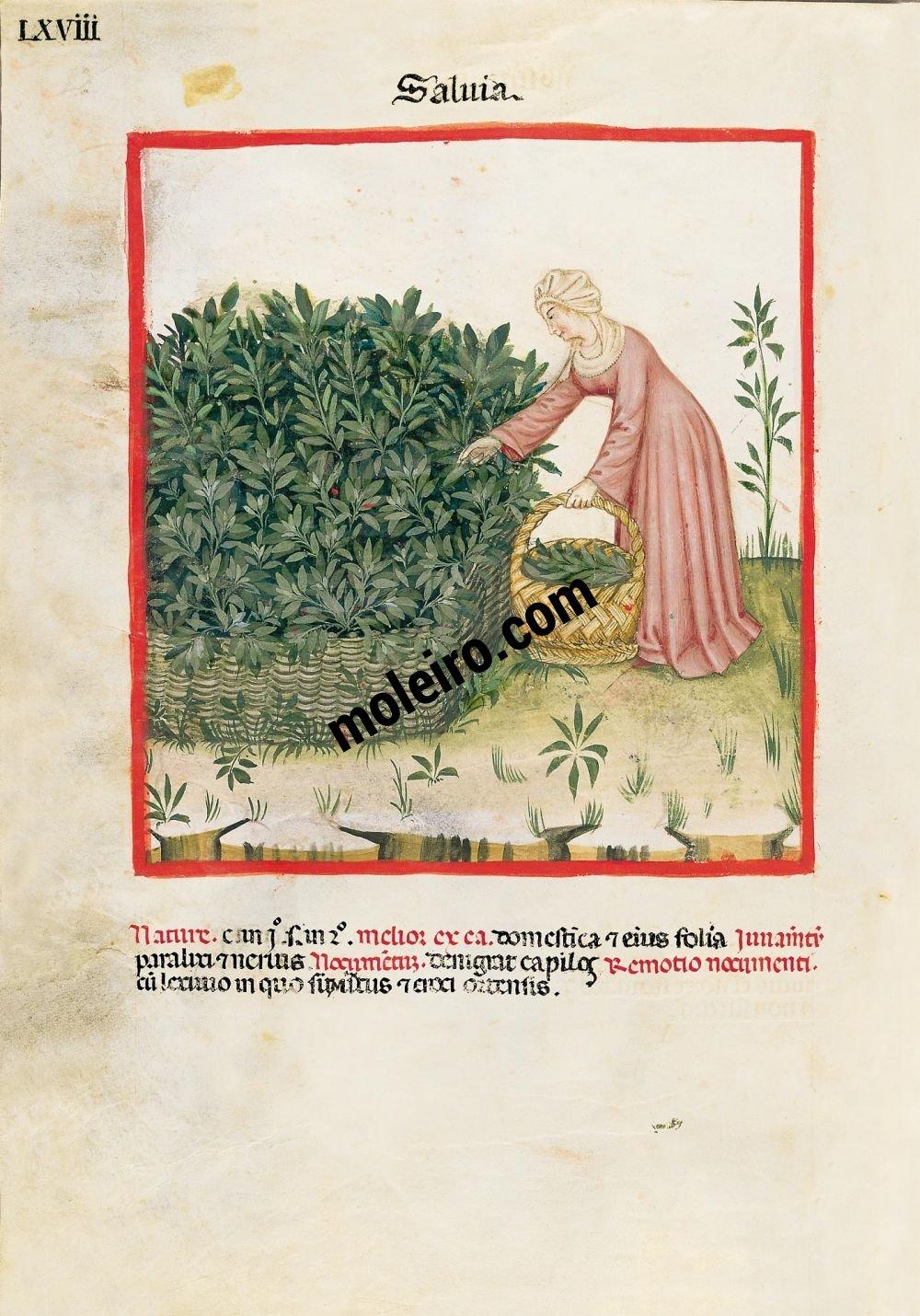 Theatrum Sanitatis f. LXVIII, Salbei