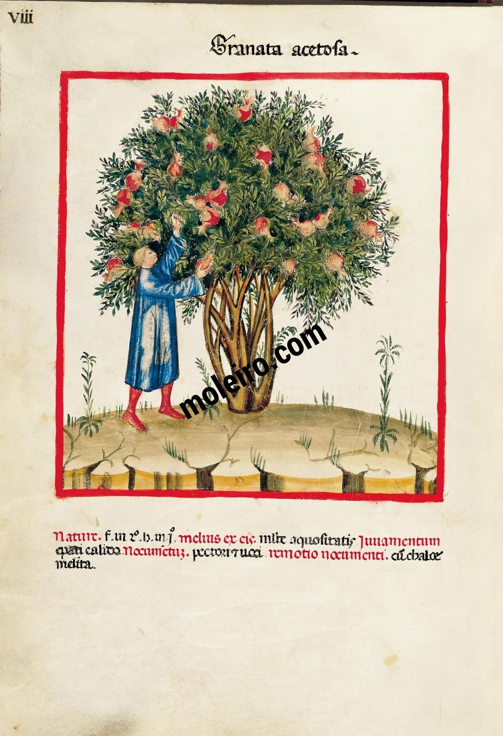 Theatrum Sanitatis f. VIII, Acid pomegranates