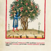 f. VIII, Acid pomegranates