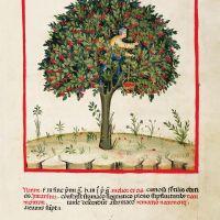 f. XVII, Sour cherries