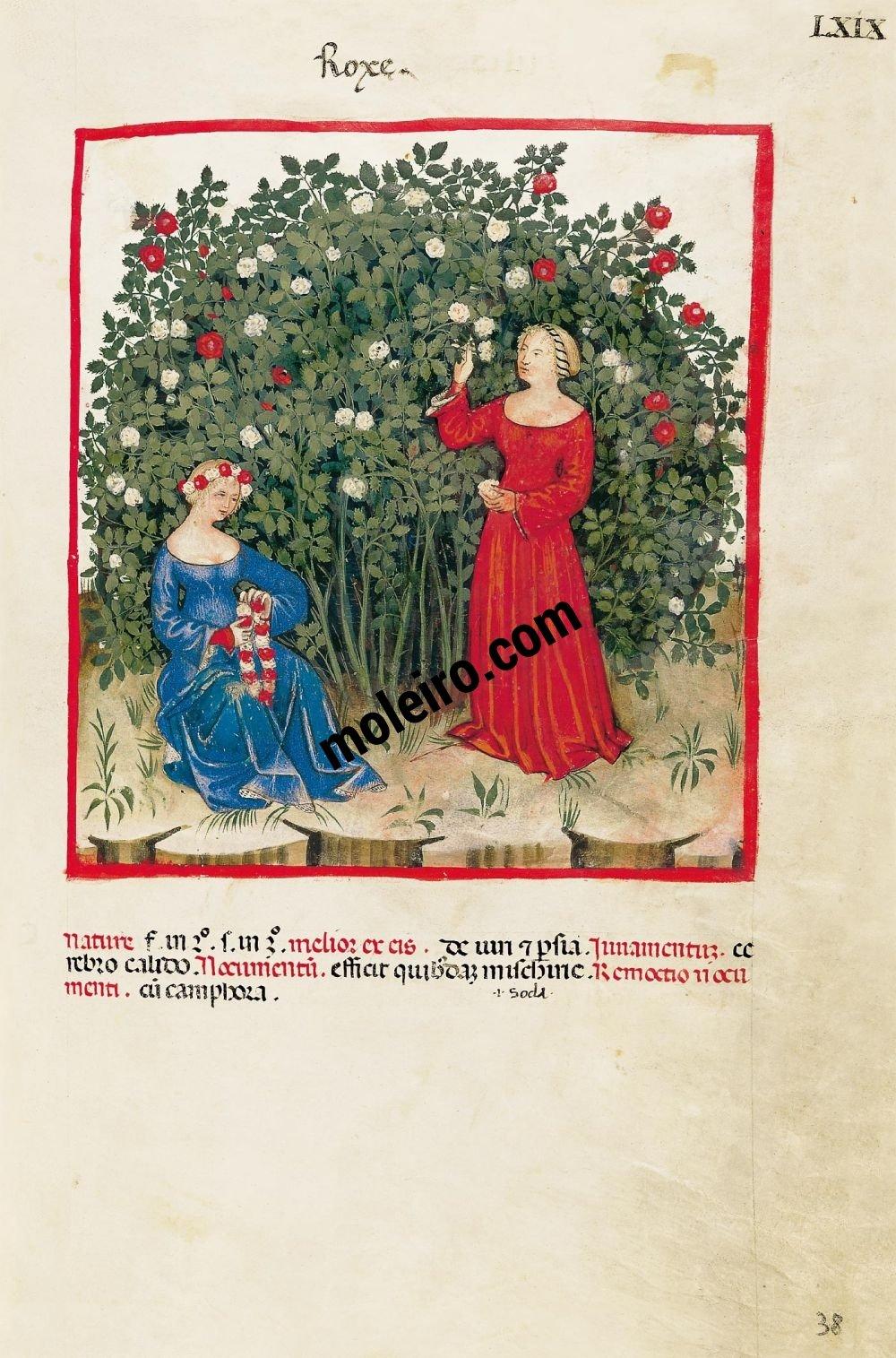 Theatrum Sanitatis f. LXIX, Roses