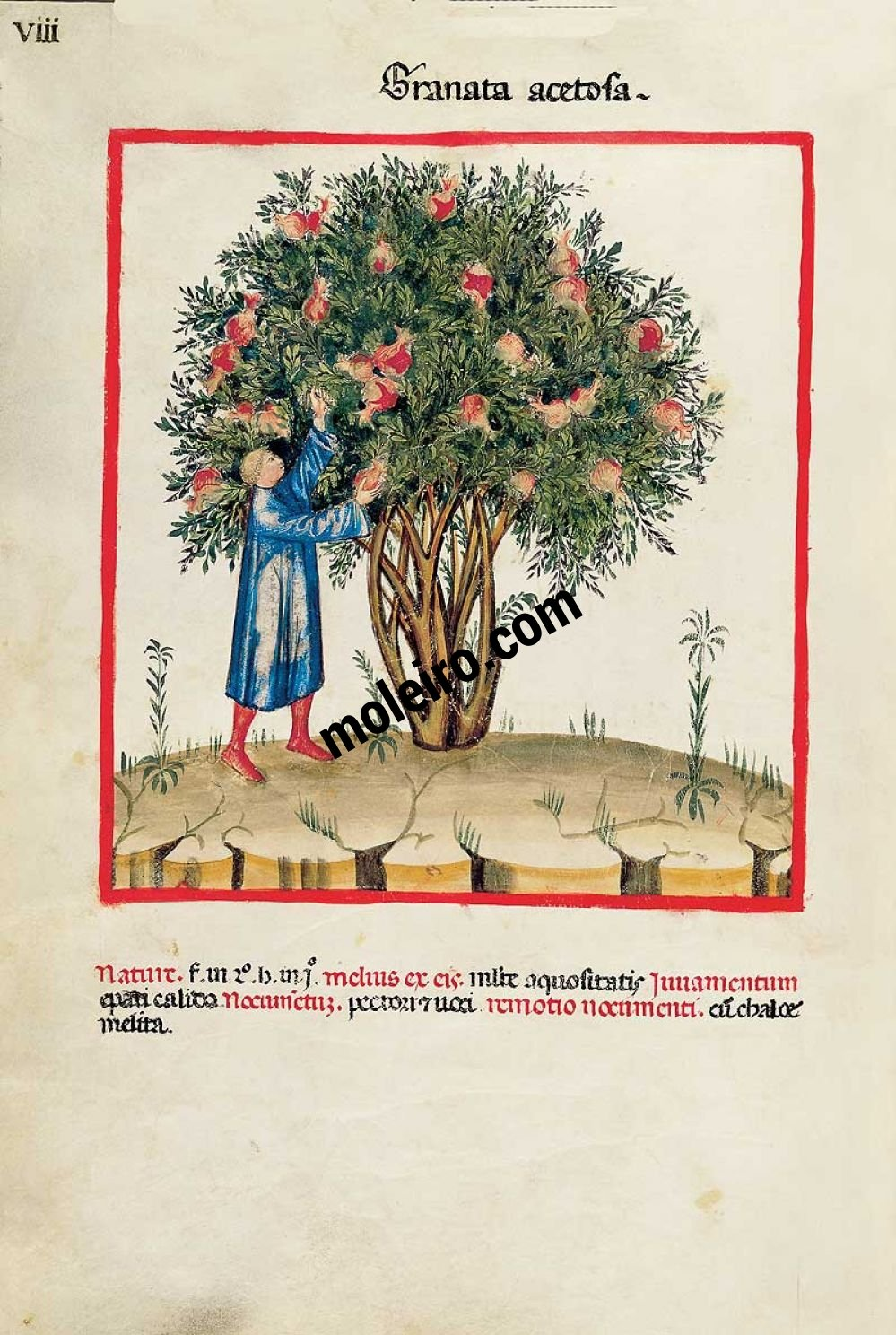 Theatrum Sanitatis Granata acetosa